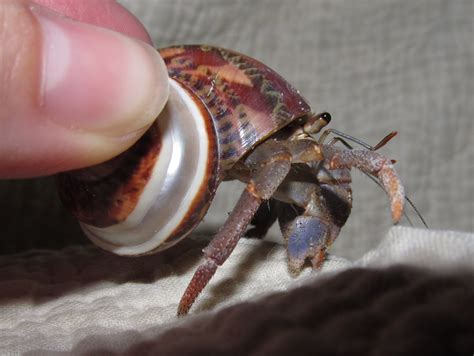 call me irresponsible before you buy that hermit crab