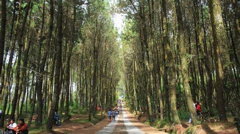 hutan pinus  lereng merbabu   hits  media