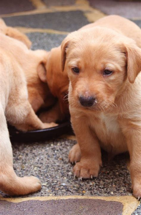 puppy development ages  stages  week  week guide