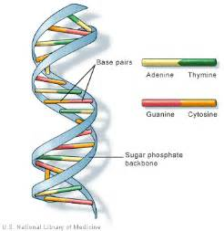 What Does Atgc Stand For In Dna by Medicine Through Time History Gcse Everything You Need