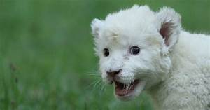 A dog adopts baby white lion (7 pics) | Amazing Creatures