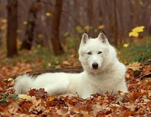 white siberian husky |different breeds of dogs pictures ...