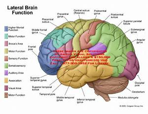 Amicus Illustration Of Amicus Anatomy Function Lateral Brain Broca Area Pole Center Sensory