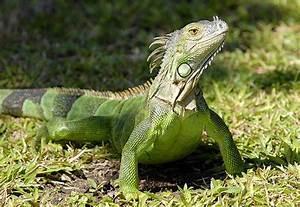 Iguana | Animal Wildlife
