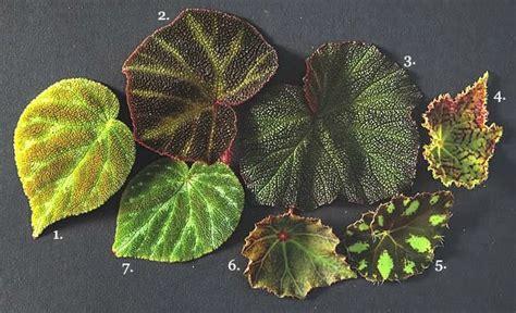 begonia plant types best begonia varieties and care information garden design