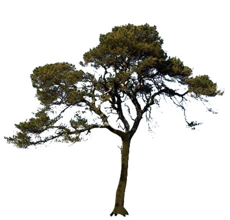 Tree Images No Background by Scots Pine Tree Transparent Image