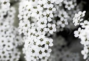 Weiß Blühender Strauch : bl hender strauch mit wei en bl ten stockfoto colourbox ~ Lizthompson.info Haus und Dekorationen