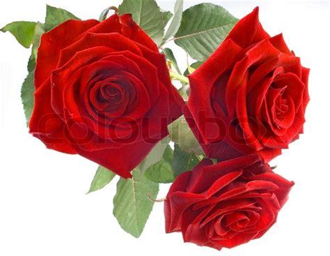 rote rosen auf weissem hintergrund stockfoto colourbox