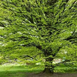 Haie Pas Cher Qui Pousse Vite : arbre charme prix carpinus betulus charme commun charmille charme commun charmille carpinus ~ Mglfilm.com Idées de Décoration