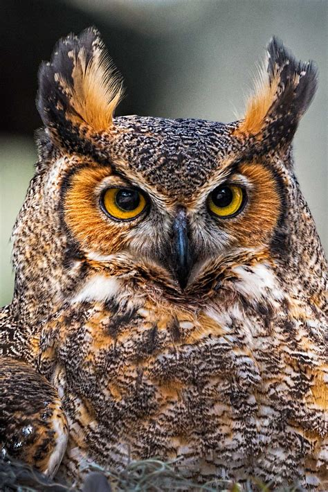 nesting great horned owl stephen l tabone nature photography