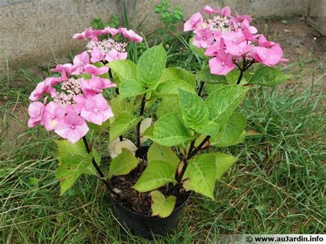 comment planter un hortensia en pot comment planter un hortensia