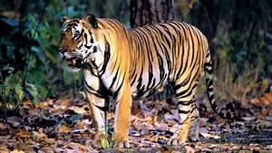 Tiger wallpaper - 947874