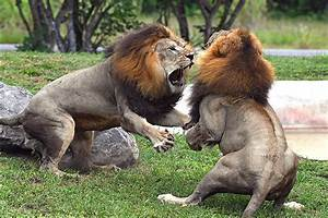 Pride Comes Between Lions In Fight For Dominance At Zoo ...