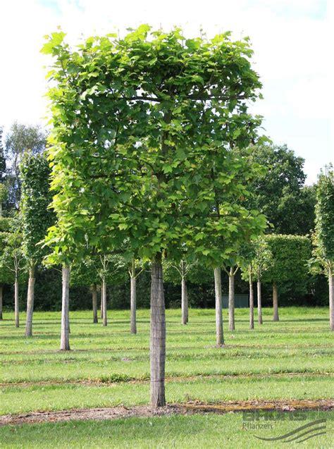 schnell wachsender baum mit breiter krone schnell wachsender baum mit breiter krone tulpenbaum walnuss idealer hausbaum schmal
