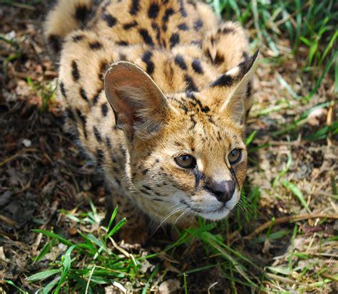 serval cat wild african endangered cats species animals animal member morpheus zew leopards melanistic society international felids servals