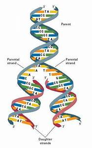When Dna Is Replicated  Or Copied  The Ladder Splits As