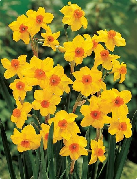 17 best images about jonquils daffodils on i