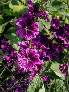 Dauerblüher Sommer Winterhart : pflanzen ~ Michelbontemps.com Haus und Dekorationen