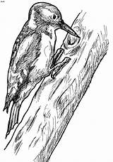 Woodpecker Coloring Woodpeckers Pages Printable Pyrography Bird Birds Sketch Drawing Colouring Drawings Wood Pecker Pencil Sketches Template Vogel Hairy Nature sketch template