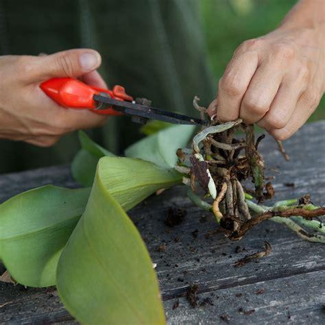 orchidea vaso trasparente rinvasare le orchidee cose di casa