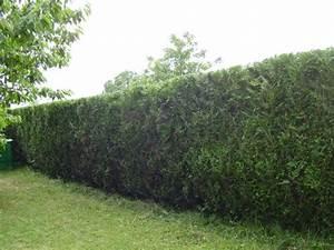 Taille Des Haies : taille de haies thuyas ~ Dallasstarsshop.com Idées de Décoration
