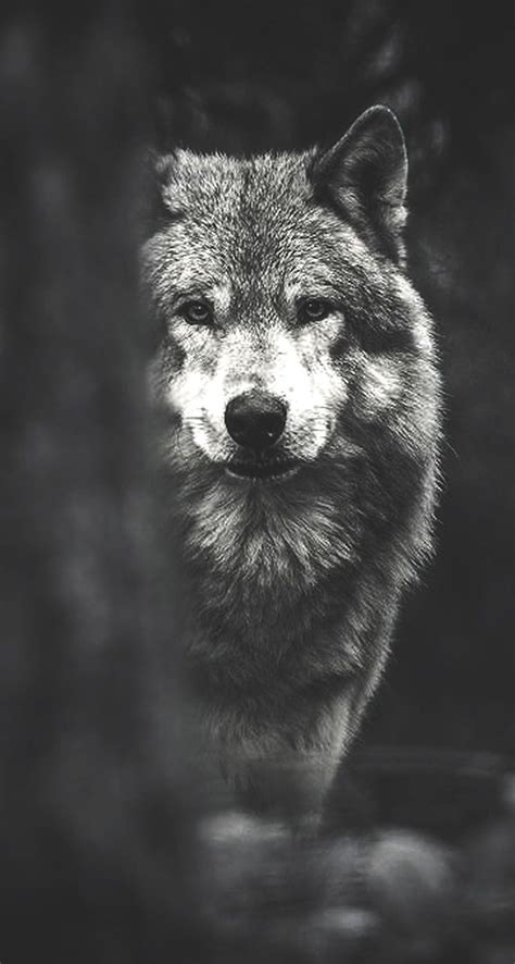 Wolf Drawing Wallpaper by Wolf Iphone Wallpapers Top Free Wolf Iphone Backgrounds