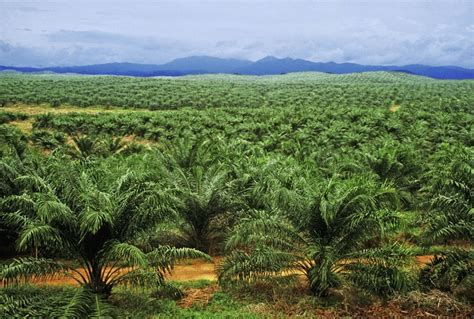 About Palm Oil Photos