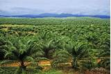Photos of Oil Palm Or Palm Oil
