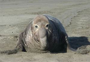 SUPER ANIMAL: Elephant Seal