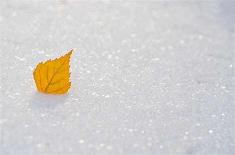 yellow leaf   snow  stock photo public domain