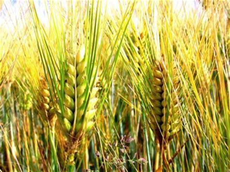 http://mangimiealimenti.it/articoli/807-agricoltori-usa-campi-di-grano-in-risalita