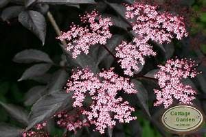 Holunder Black Beauty : holunder black beauty r rosa bl te auf rotem laub ebay ~ Frokenaadalensverden.com Haus und Dekorationen