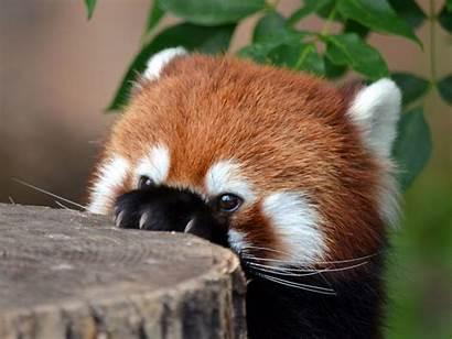 Panda Lustige Animals Wallpapers Pandas Hintergrundbilder Scary