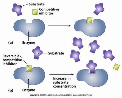 Enzymes Enzyme Facts Interesting