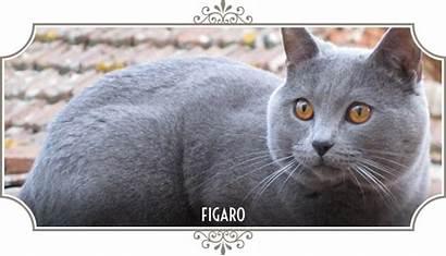 Certosino Gatto Gatti