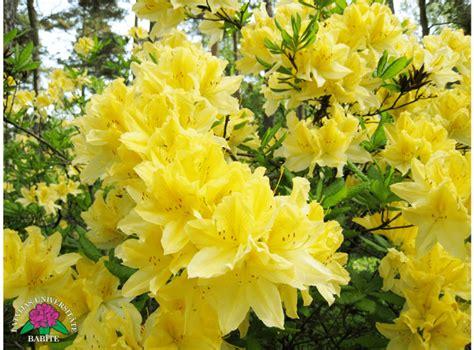 Latvijas stādi - Rhododendron molle - mīkstais rododendrs
