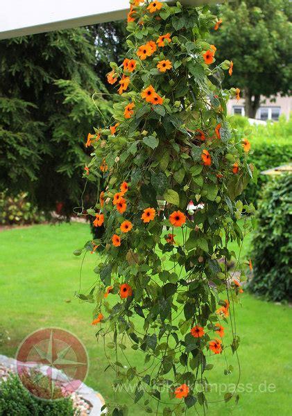 schnell wachsende rankpflanzen einen sichtschutz aus blumenranken pflanzen schnellwachsende