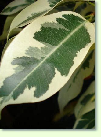 birkenfeige pflege pflanzenfreunde