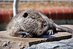 Wie Vertreibt Man Ratten : ratten bek mpfen kammerj ger und sch dlingsbek mpfung ~ Eleganceandgraceweddings.com Haus und Dekorationen