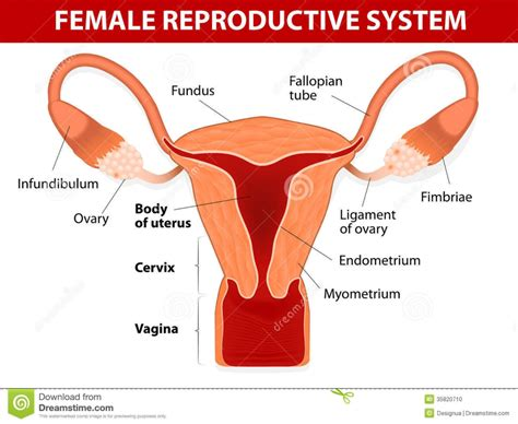 Female Reproductive System Diagram Front View Anatomy Organ