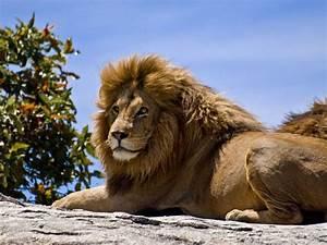 Lew - król zwierząt | DinoAnimals.pl