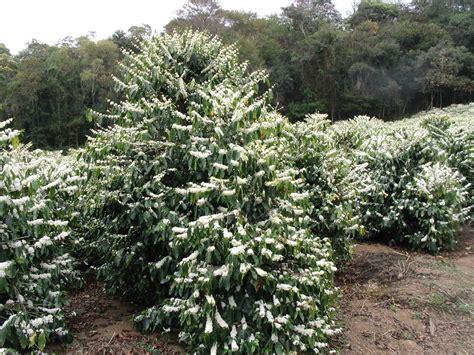 File:Coffee Flowers Show   Wikimedia Commons
