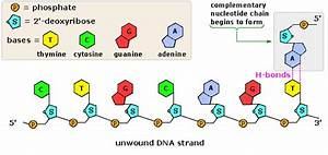 Jess U0026 39 S A Levels  Biology  Chapter 6  Nucleic Acids And