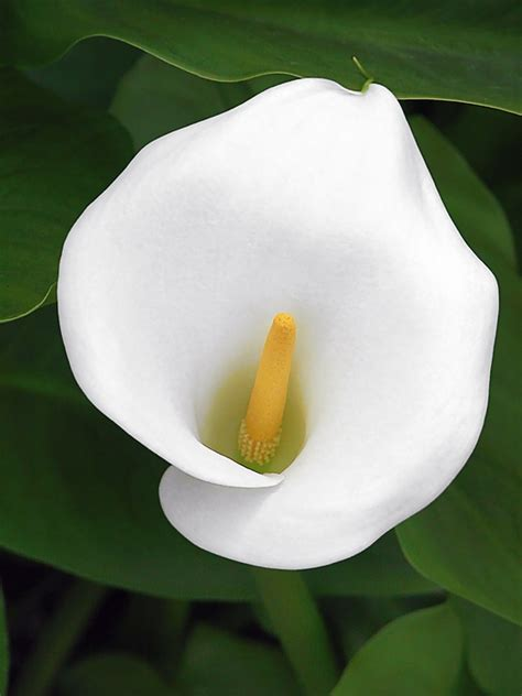white calla flower white calla lily photograph by christine till