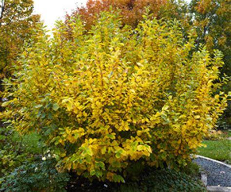 where does witch hazel grow top 5 winter plants for minnesota dean bjorkstrand