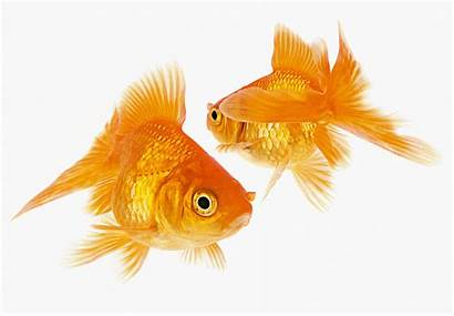 Goldfish Each Cocoon Crossing Photograph Horizontal Palindrome