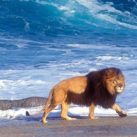 lion barbary lions largest biggest wild animals jaguar african tiger considered male animal wildlife most team king instagram pets kingdom