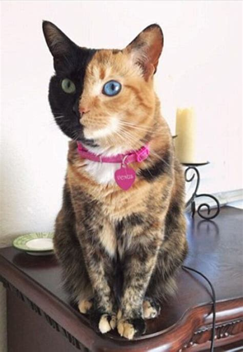 venus   faced cat  breaking  internet  real
