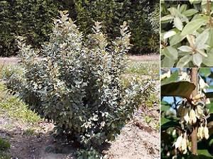 Arbuste À Feuillage Persistant : arbuste feuillage persistant fleurs blanches capturnight ~ Melissatoandfro.com Idées de Décoration