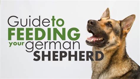 german shepherd feeding guide german shepherdthings